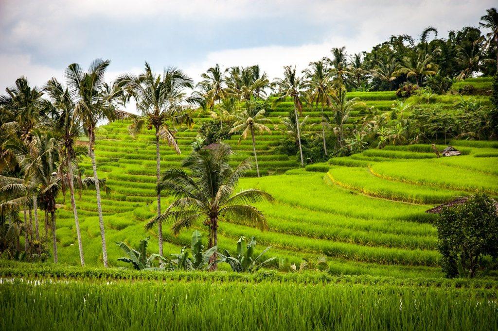 rice, rice terrace, terraces